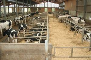 mucche_latte