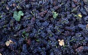 uva-raccolta