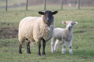 pecora-e-agnello