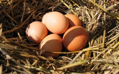 La qualità dell'uovo dipende dalla qualità della gallina!
