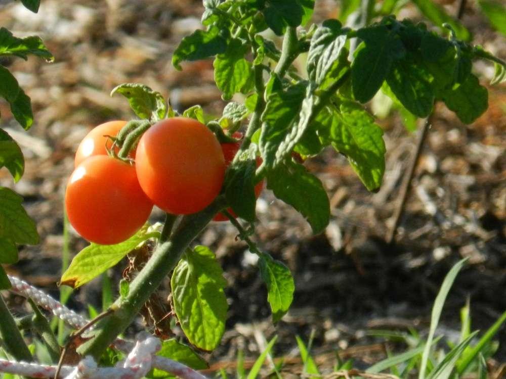 pomodori-appesi