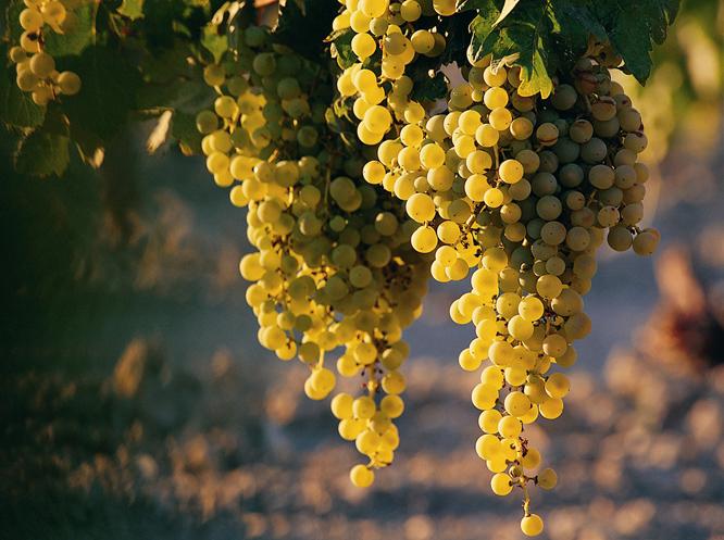 L'uva com'è diventata vino?